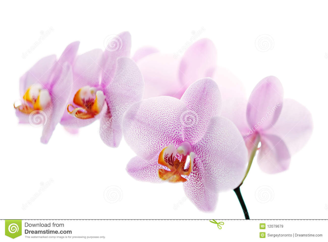 Pink spotted orchids isolated on white