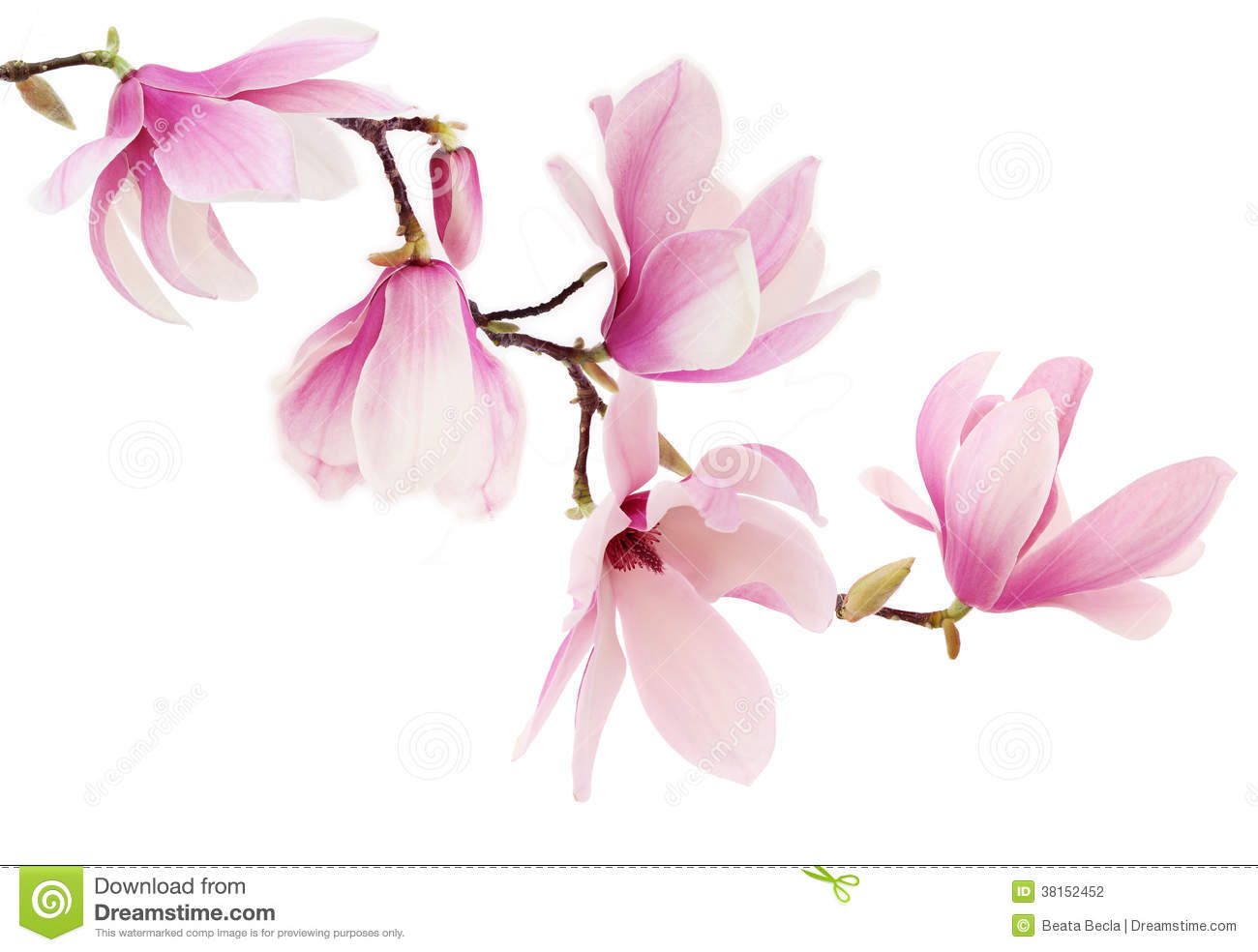 Pink Spring Magnolia Flowers Branch Stock Photography - Image ...