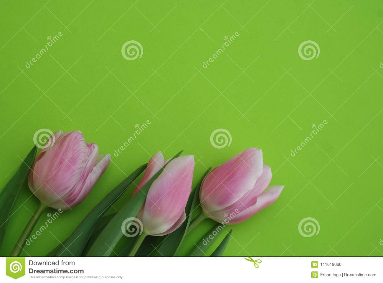 Pink Spring Tulips over a Green background, in a flat lay composition with Copy space. Spring flowers.