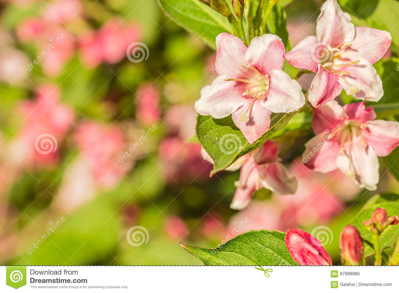 Pink spring weigel flowers close up stock photo image of pink spring weigel flowers close up mightylinksfo