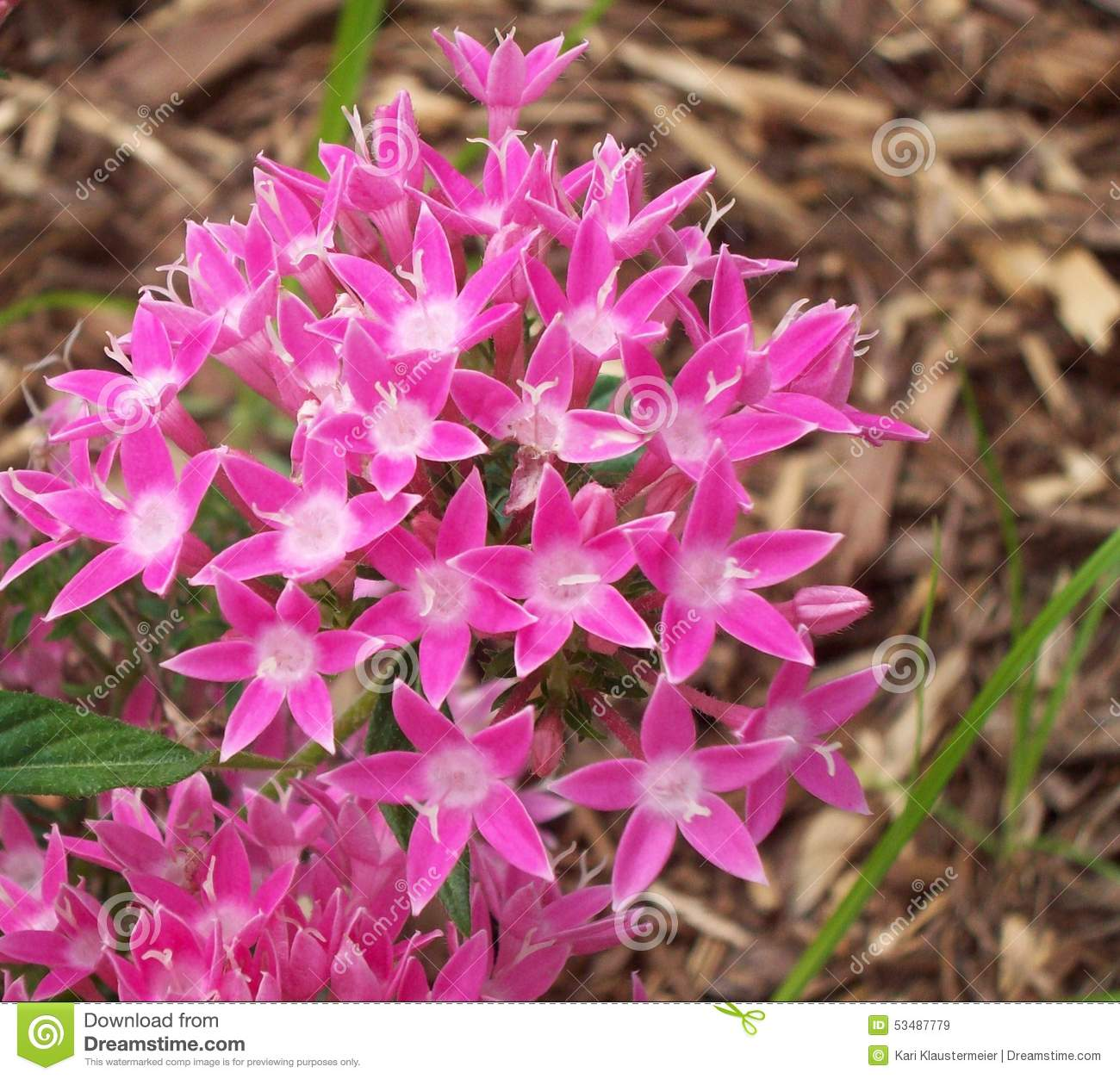 Pink Star Flowers Over Mulch Stock Image Image Of Garden Cluster