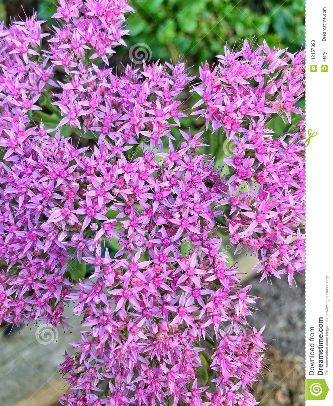 Pink Star Shaped Flowers Stock Image Image Of Pretty 112157823
