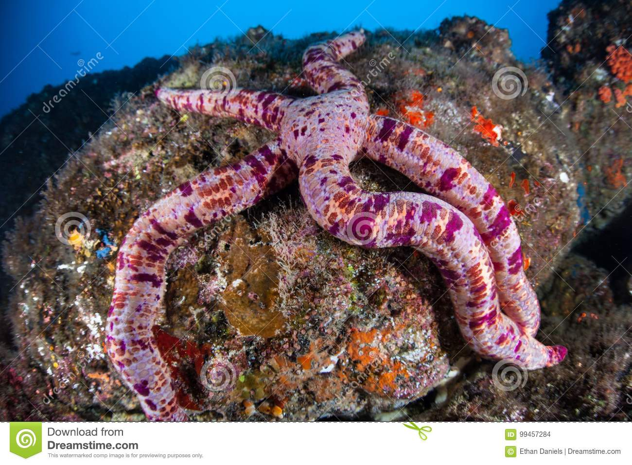 Pink Starfish in Pacific Ocean