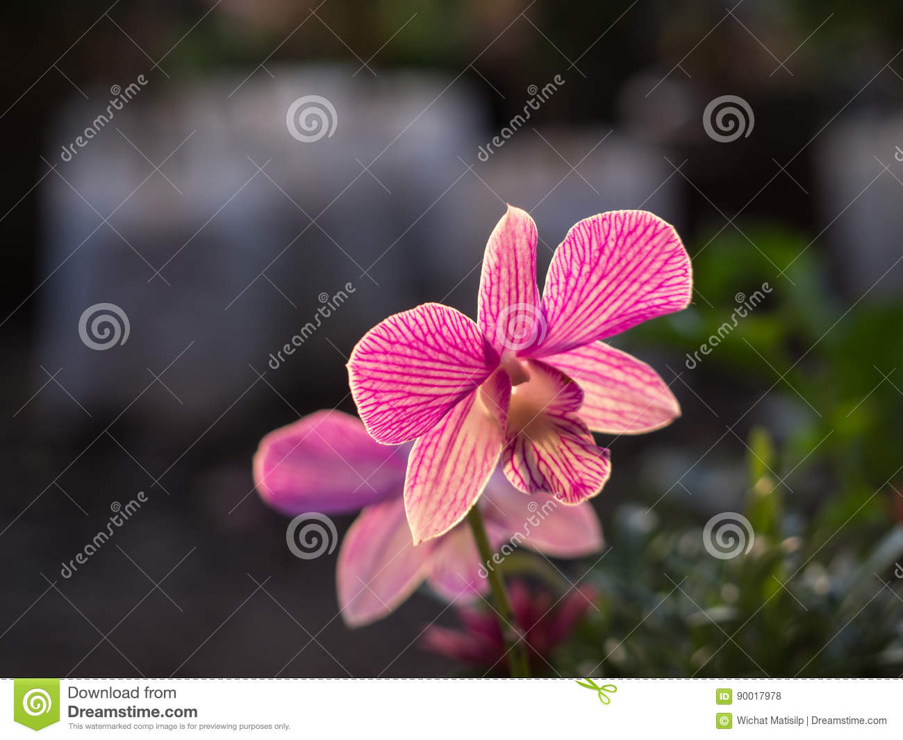 Pink Striped White Dendrobium Orchid Flower Stock Photo Image Of