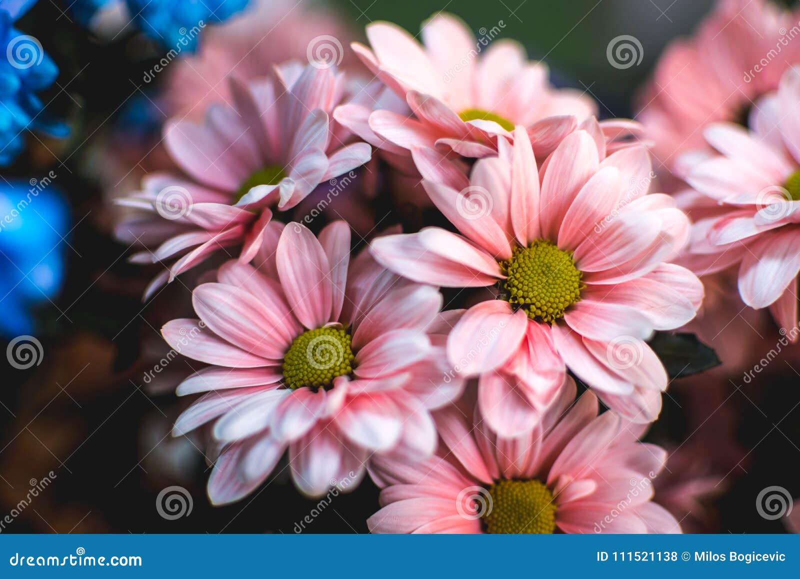 Pink Summer Flowers Margarita Romantic Flower Stock Photo Image