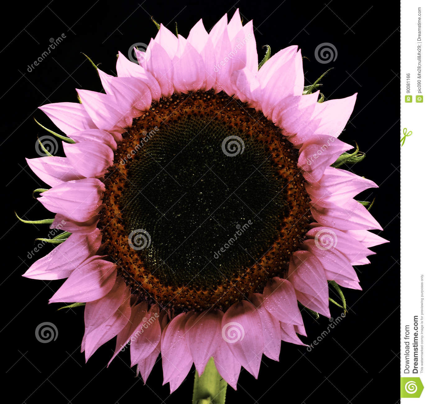 Pink Sunflower Isolated Royalty Free Stock Image