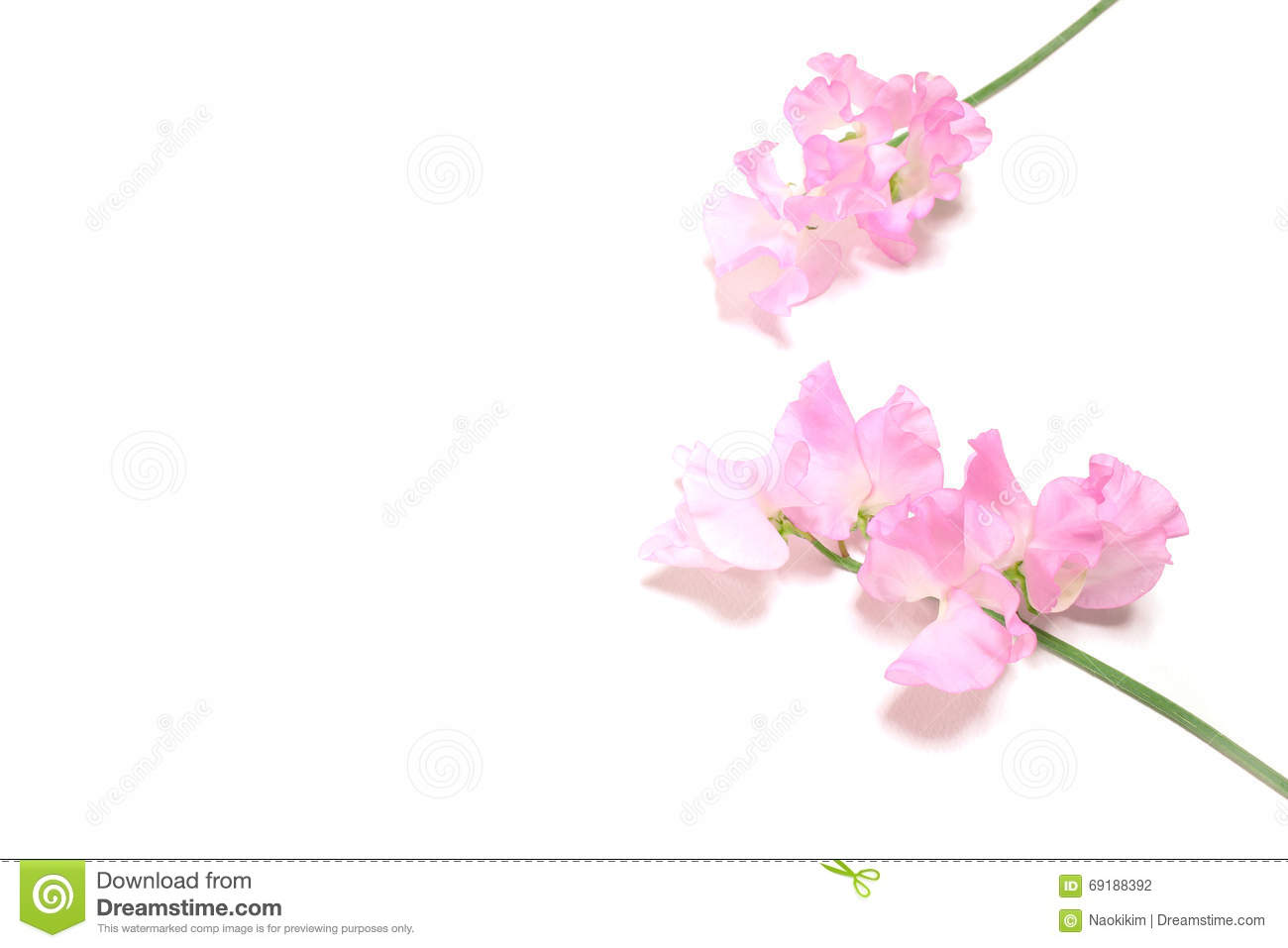 Pink Sweet Pea Flowers In White Stock Photo Image Of Freshness