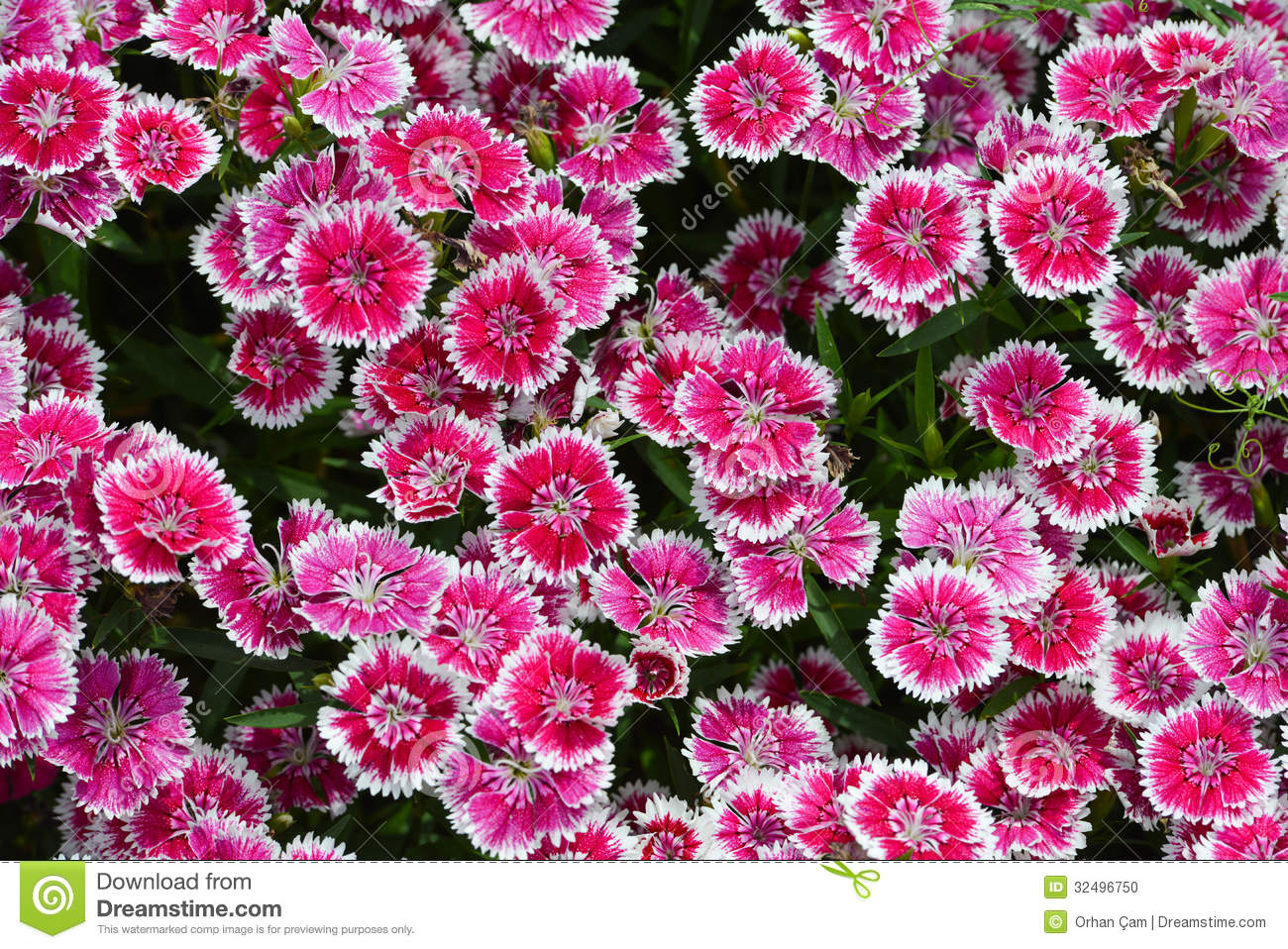 Pink Sweet William Flowers Stock Image