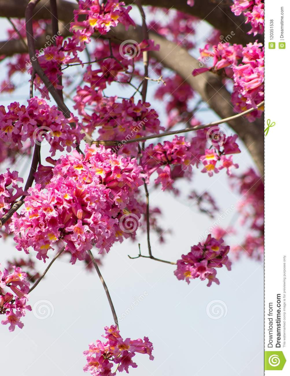 Pink Tabebuia Tree Branches Filled With Frilly Bell Shaped Trumpet