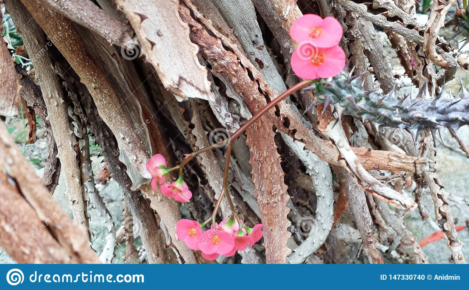 Pink tender flowers on the background of rough and thorn