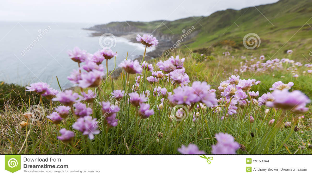 Pink Thrift Flowers On Clifftop Stock Photo Image Of Devon Nature