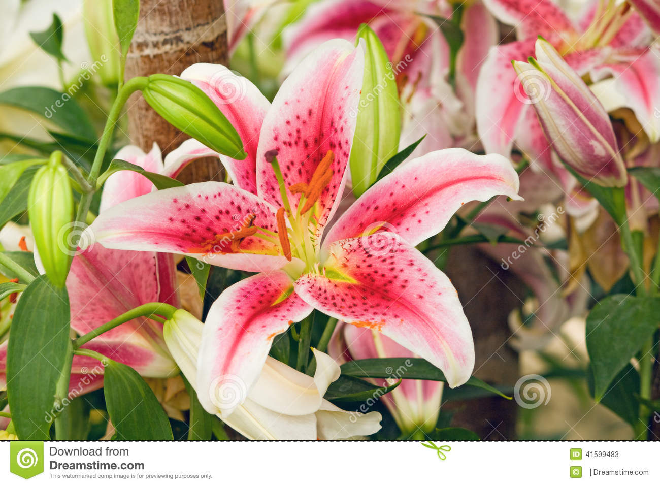 Pink Tiger Lily On Green Background Stock Image Image Of Beautiful