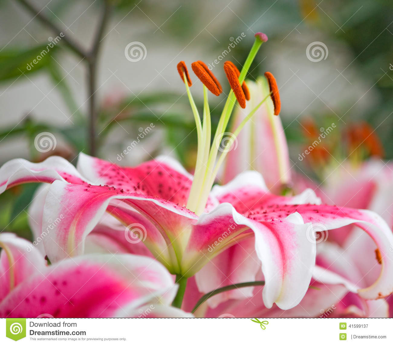 Pink Tiger Lily On Green Background Stock Photo 41599137 Megapixl