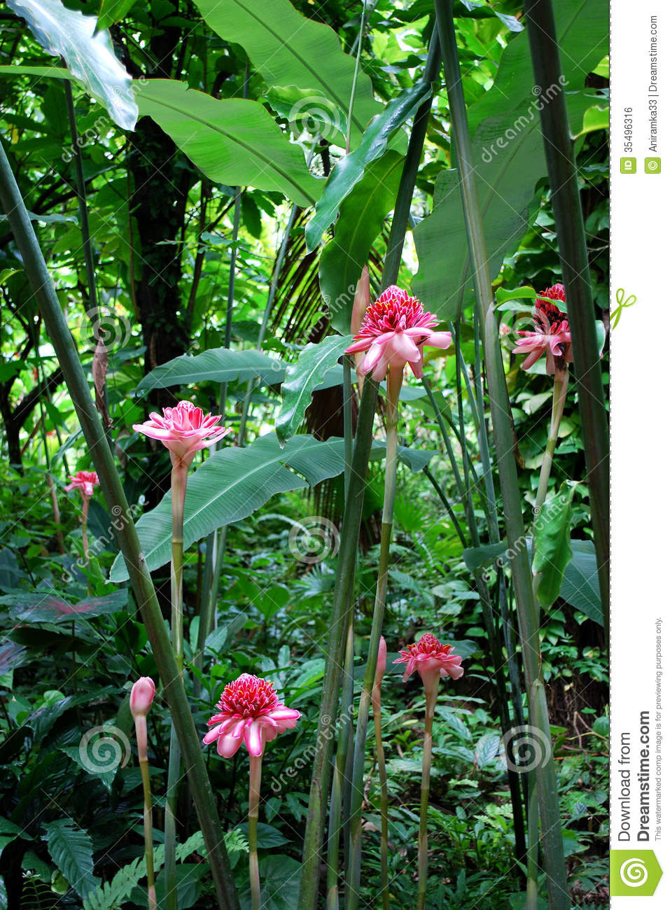 Pink Torch Ginger Flowers Stock Photo 35496316 Megapixl