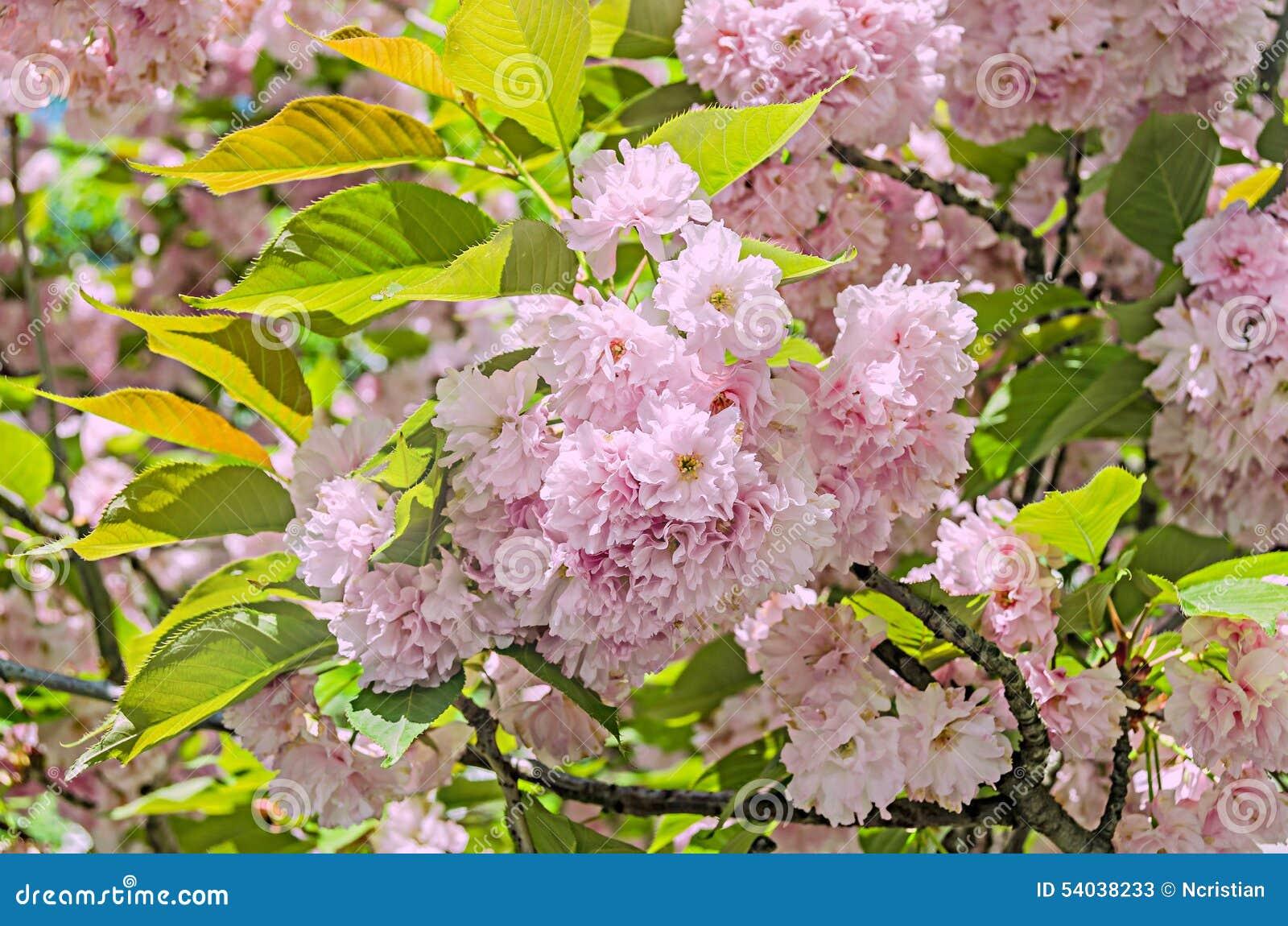 Pink Tree Flowers Of Prunus Serrulata Kanzan Branch Flowers