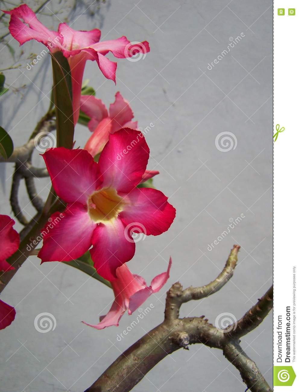Pink trumpet flower vertical stock image image of blue lovely pink trumpet flower vertical mightylinksfo