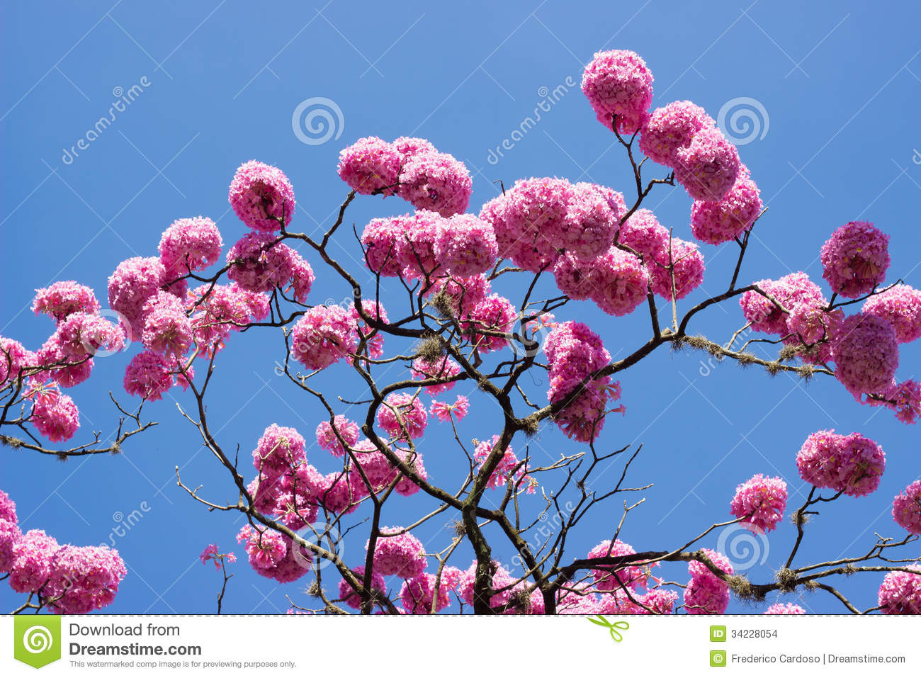 Pink trumpet tree and flower stock photo image of leaves rosa pink trumpet tree and flower mightylinksfo