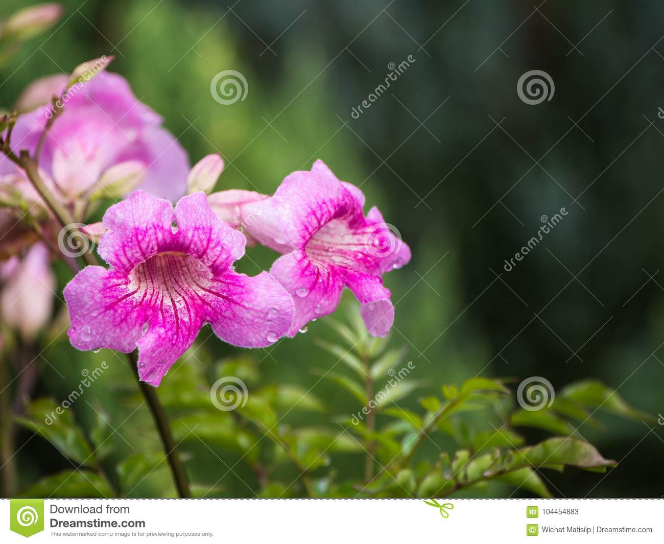 The Pink Trumpet Vine Flower Blooming Stock Image Image Of Bright