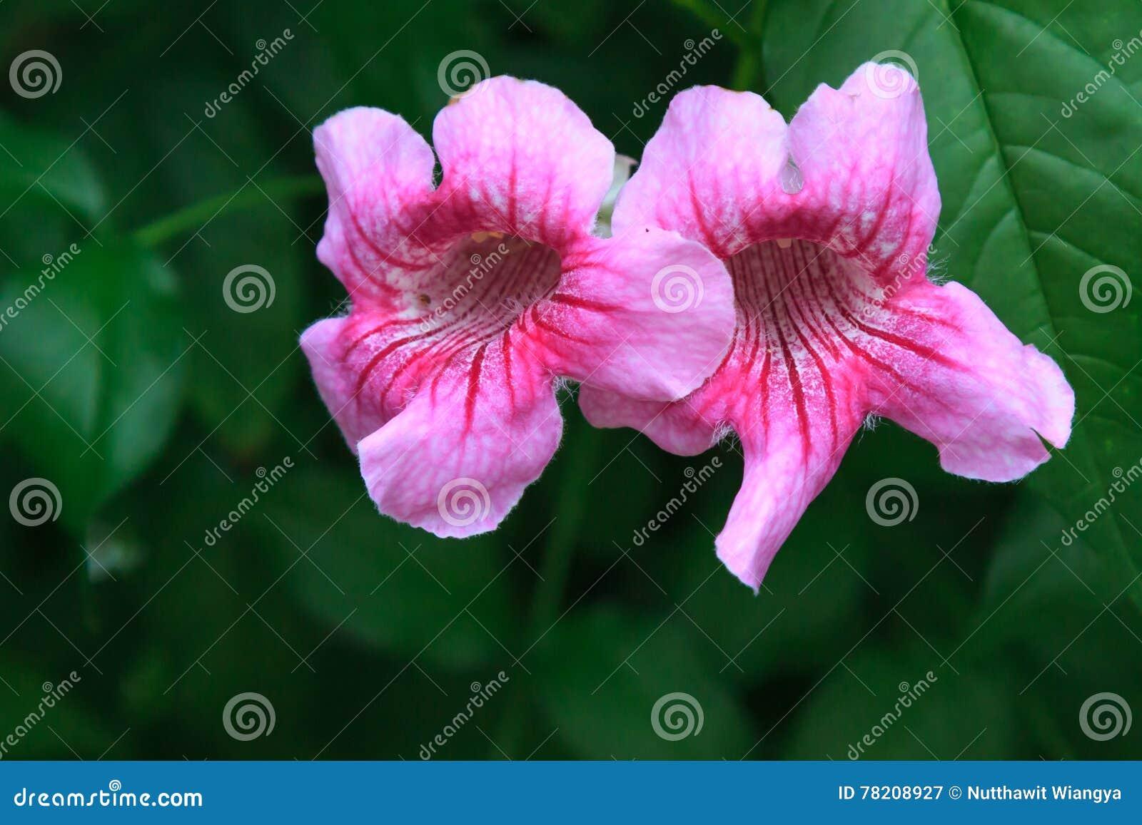 Pink trumpet vine flower stock image image of background 78208927 pink trumpet vine flower mightylinksfo
