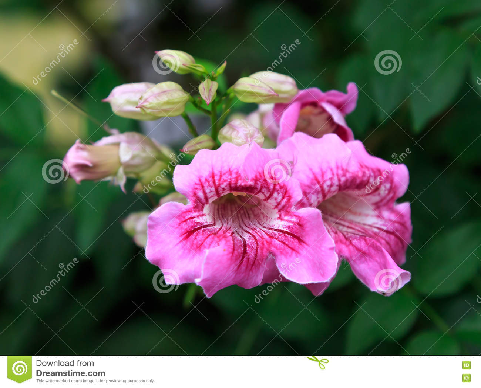 Pink trumpet vine flower stock image image of background 78208957 pink trumpet vine flower mightylinksfo
