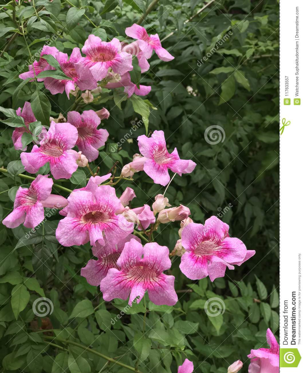 Pink trumpet vine or port sthns creeper or podranea ricasoliana pink trumpet vine or port sthns creeper or podranea ricasoliana or campsis radicans or trumpet creeper or cow itch vine or hummingbird vine flowers are mightylinksfo