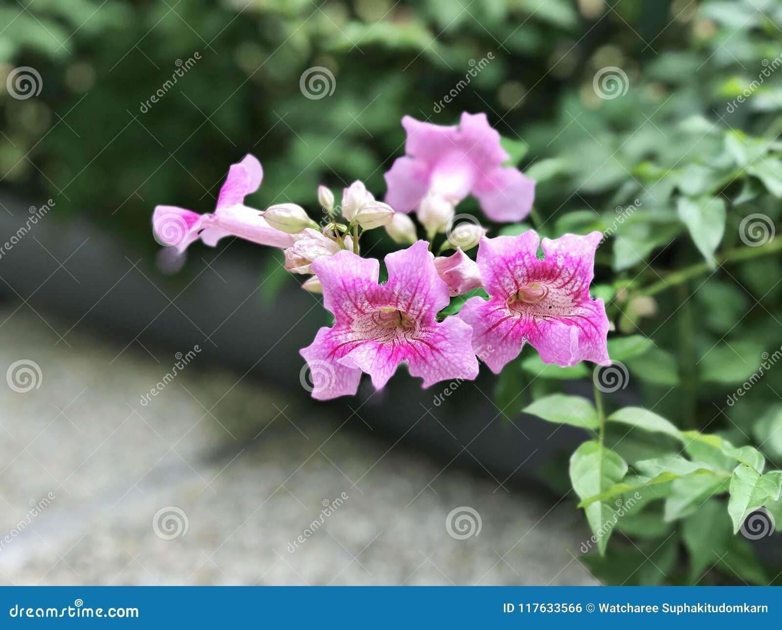 Pink trumpet vine or port sthns creeper or podranea ricasoliana download pink trumpet vine or port sthns creeper or podranea ricasoliana or mightylinksfo
