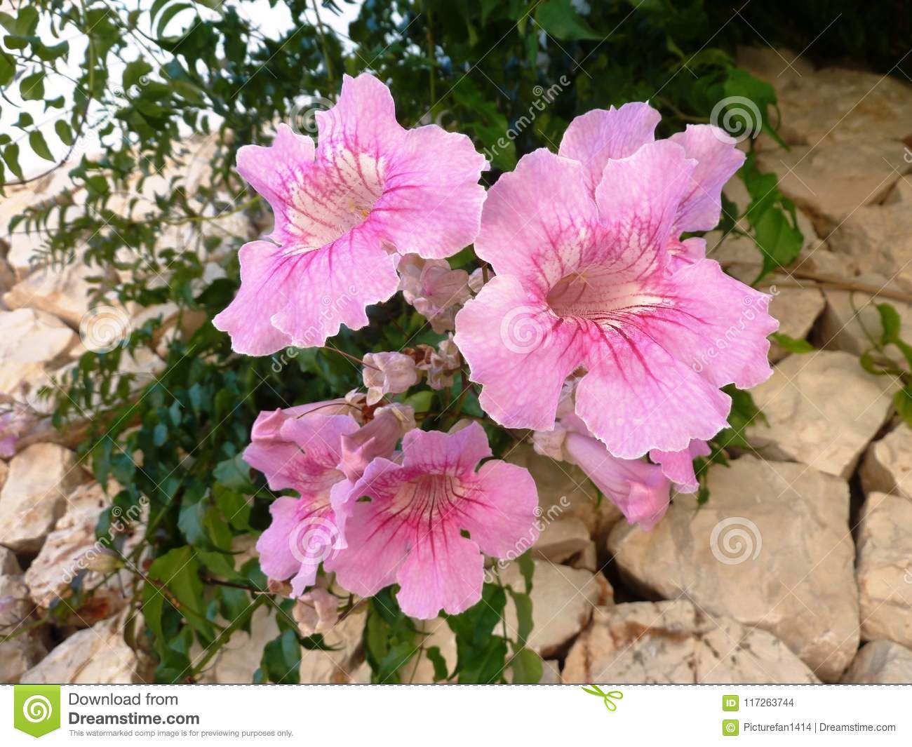 Pink Trumpet Vine In The Sun Stock Photo Image Of Flower Bloom
