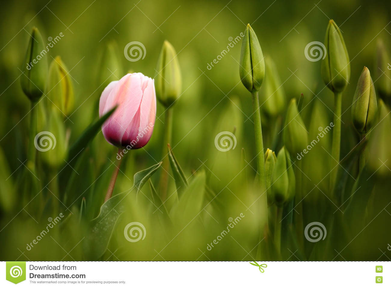 Pink tulip bloom, red beautiful tulips field in spring time with sunlight, floral background, garden scene, Holland, Netherlands