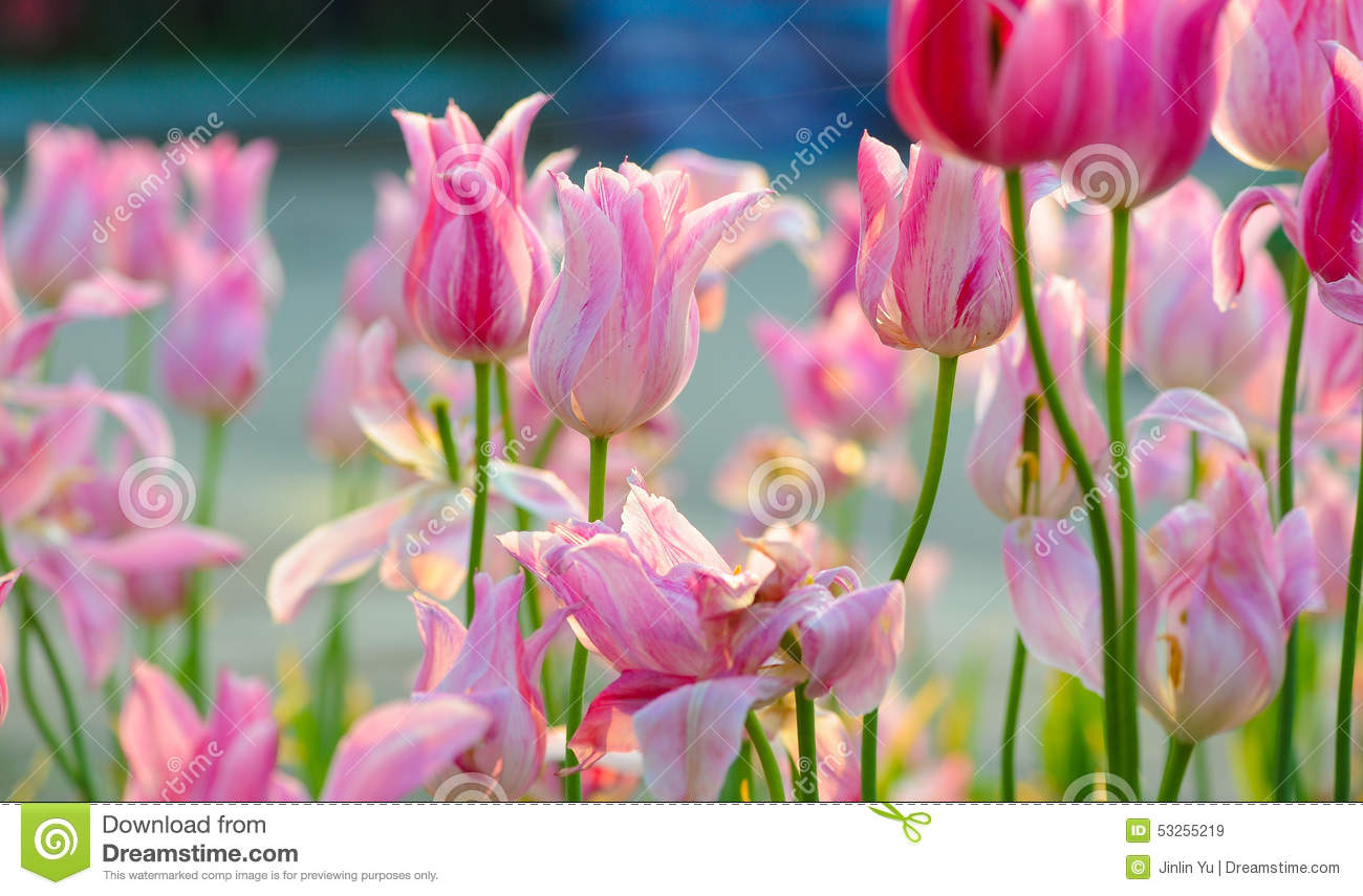 Pink tulip bloom in the spring