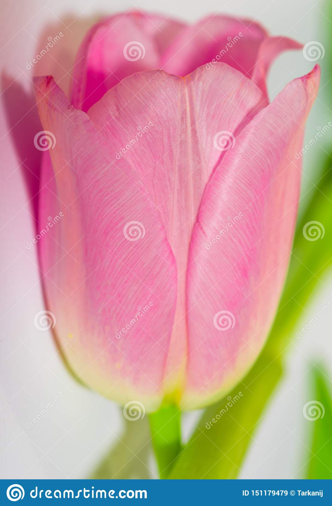 Pink tulip. Close-up pink tulip isolated on white. Spring flowers. Tulips on pastel colors background. Greeting card