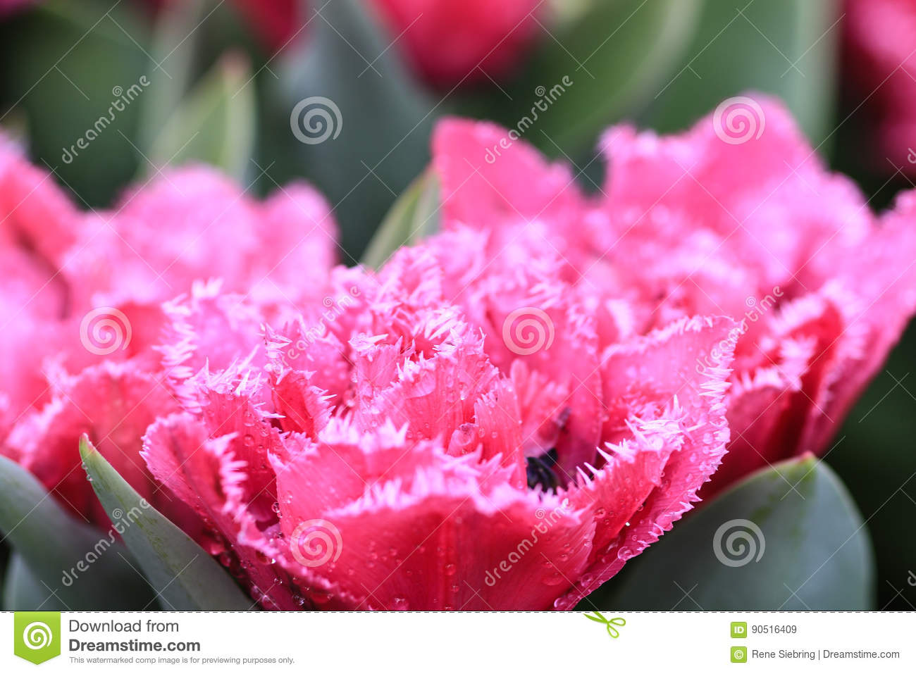 Pink Tulip With Crenelated White Edges Stock Image Image Of