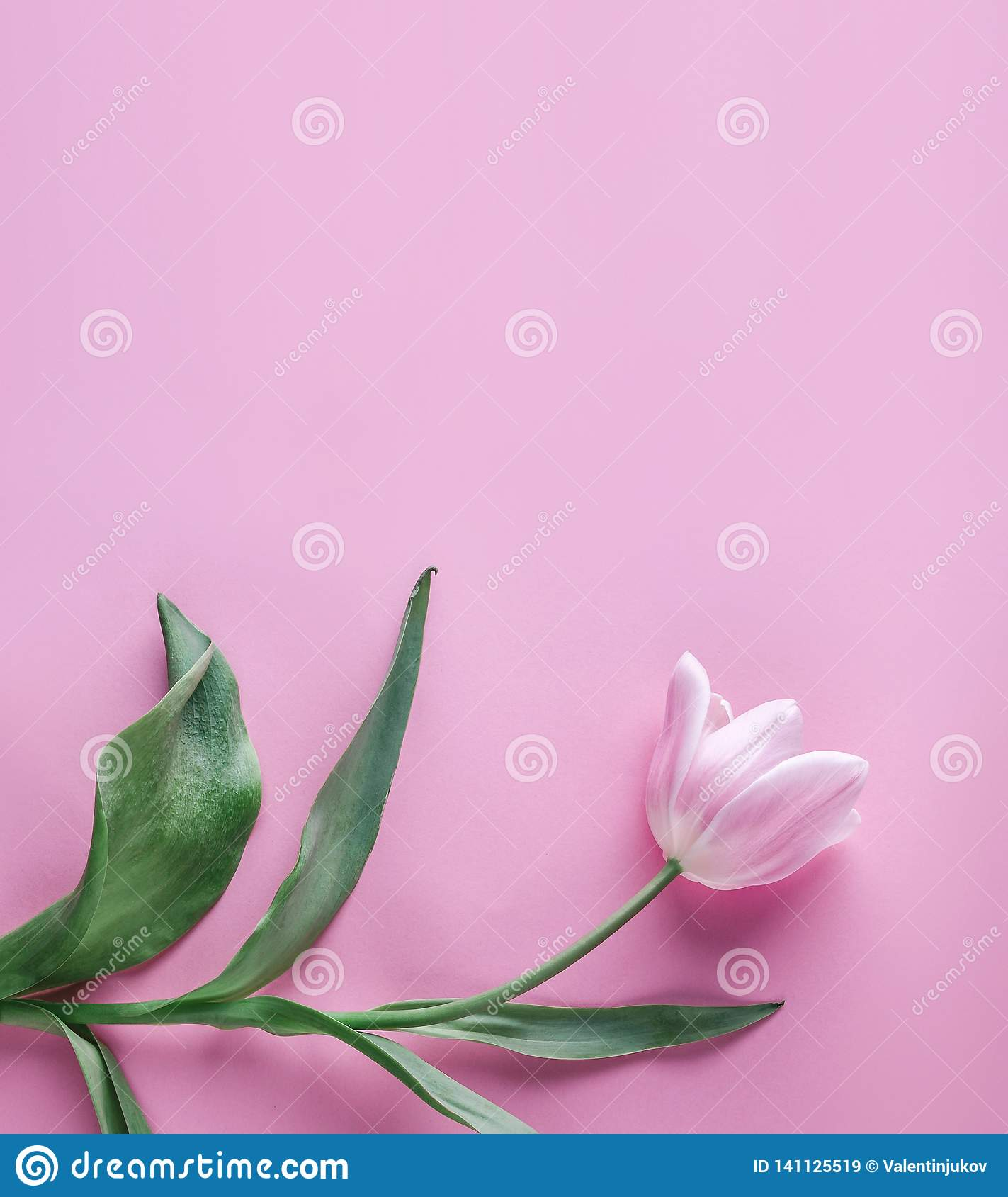 Pink tulip flower on pink background. Waiting for spring. Card for Mothers day, 8 March, Happy Easter. Greeting card