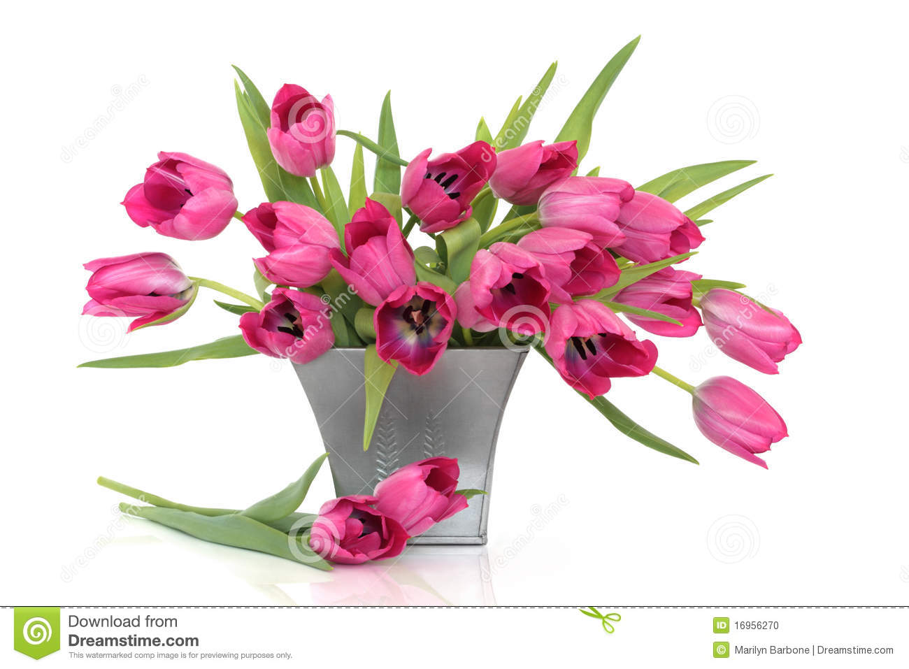 pink tulip flowers stock photo  image, Beautiful flower
