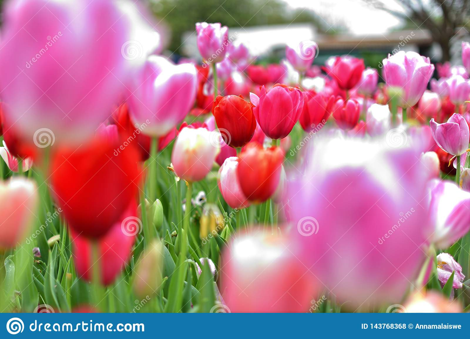 Pink Tulip with blured forground