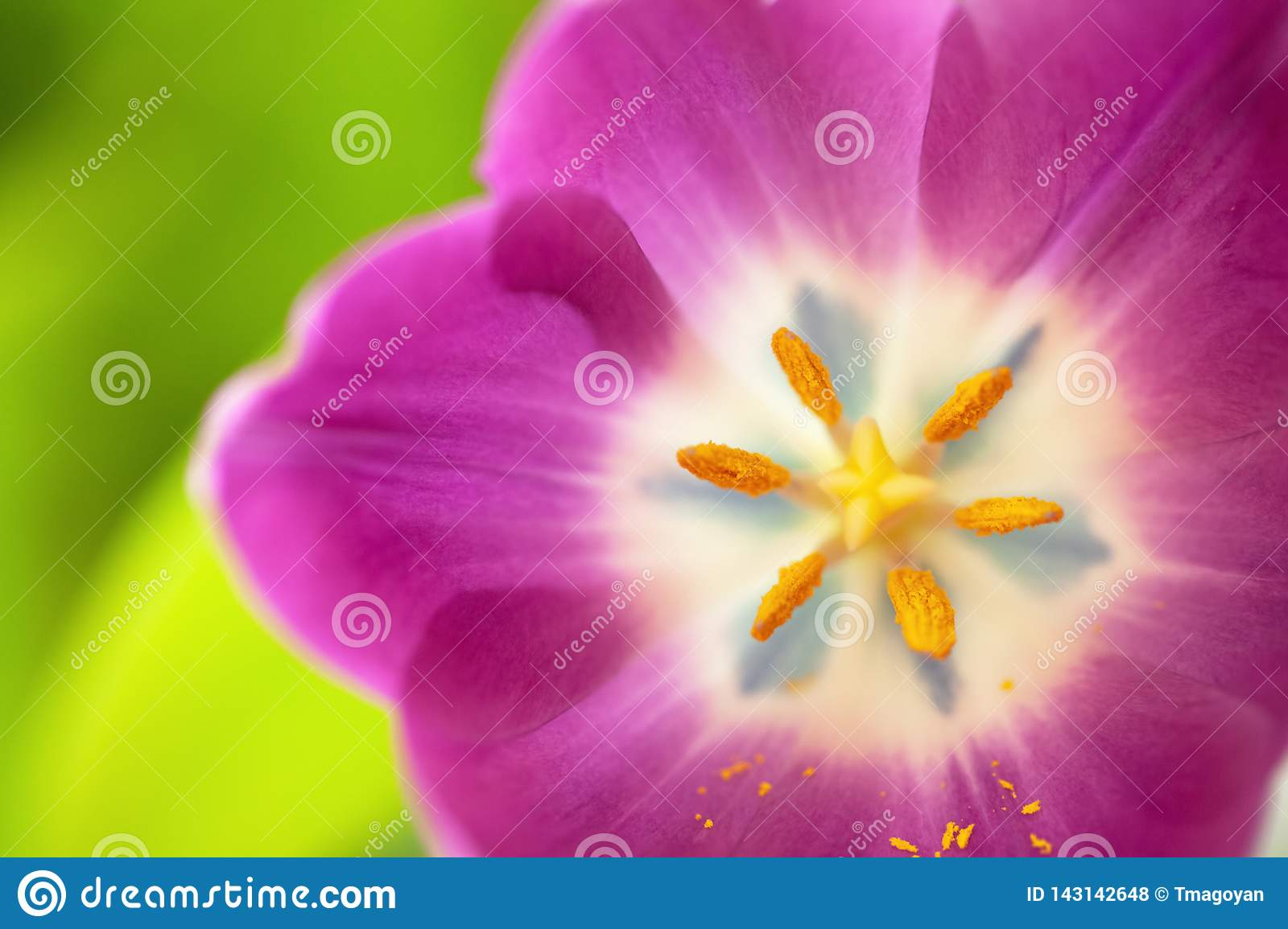Pink tulip on green blurred background. Macro. Abstract. Close-up. Horizontal. Mock up with copy space for greeting card