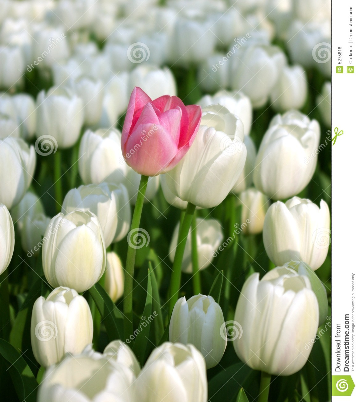 Pink tulip in a sea of white tulips royalty free stock photos pink tulip tulips white dhlflorist Image collections