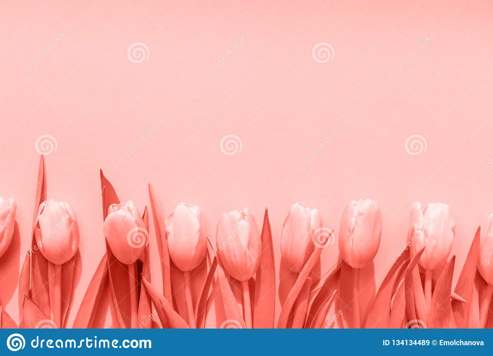 Pink Tulips On The Pink Background Flat Lay Top View Valentines