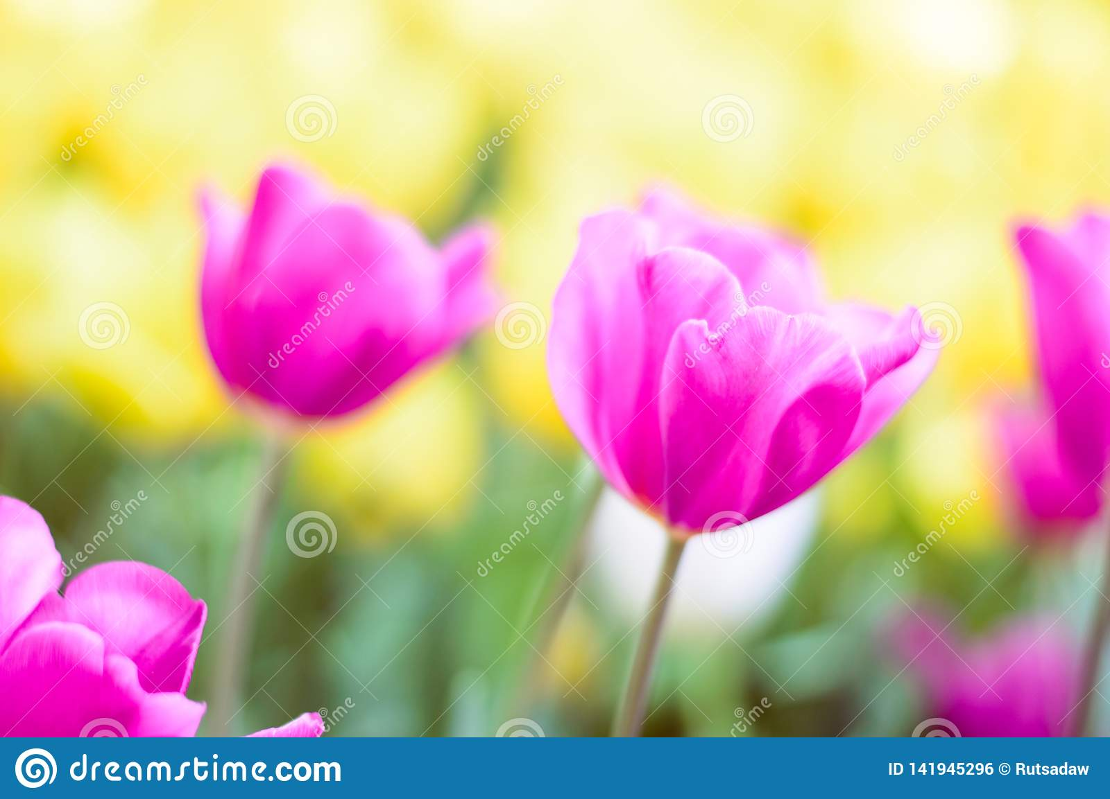 Pink tulips bloom in the garden