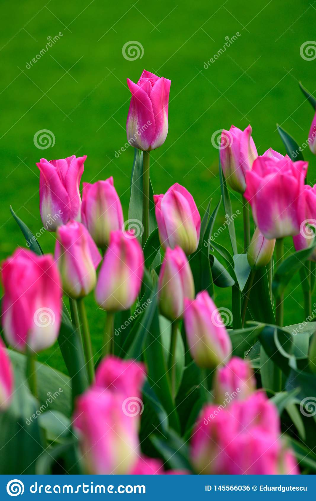 Pink tulips close up in Holland , spring time flowers in Keukenhof