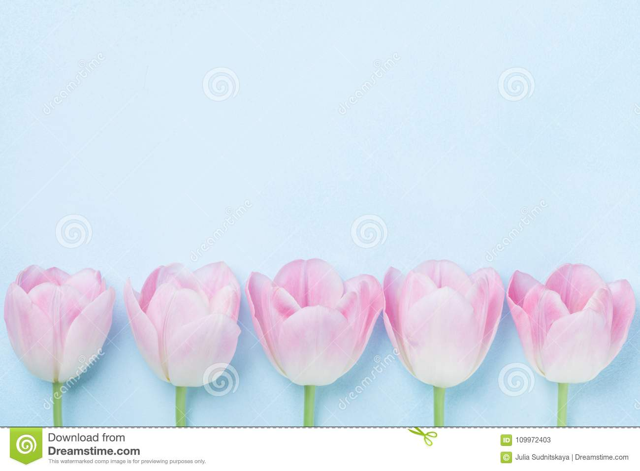 Pink tulips flower on blue background top view. Fashion pastel colors. Flat lay style. Spring woman day card.