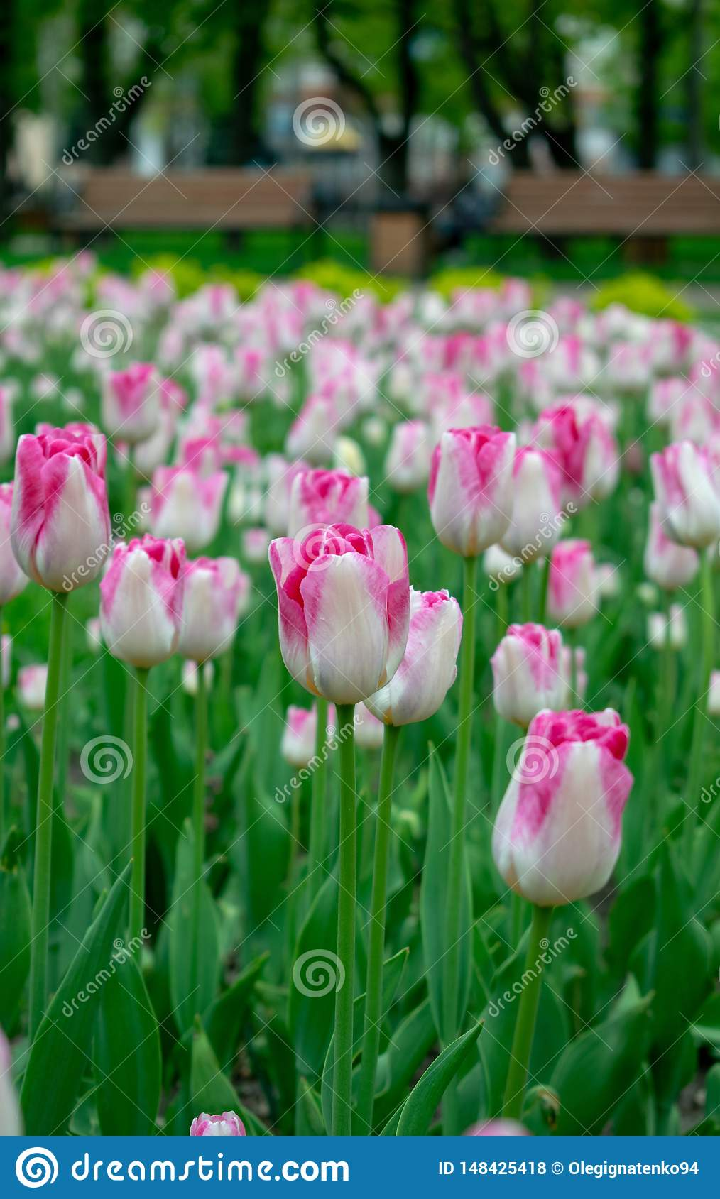 pink tulips in the city park
