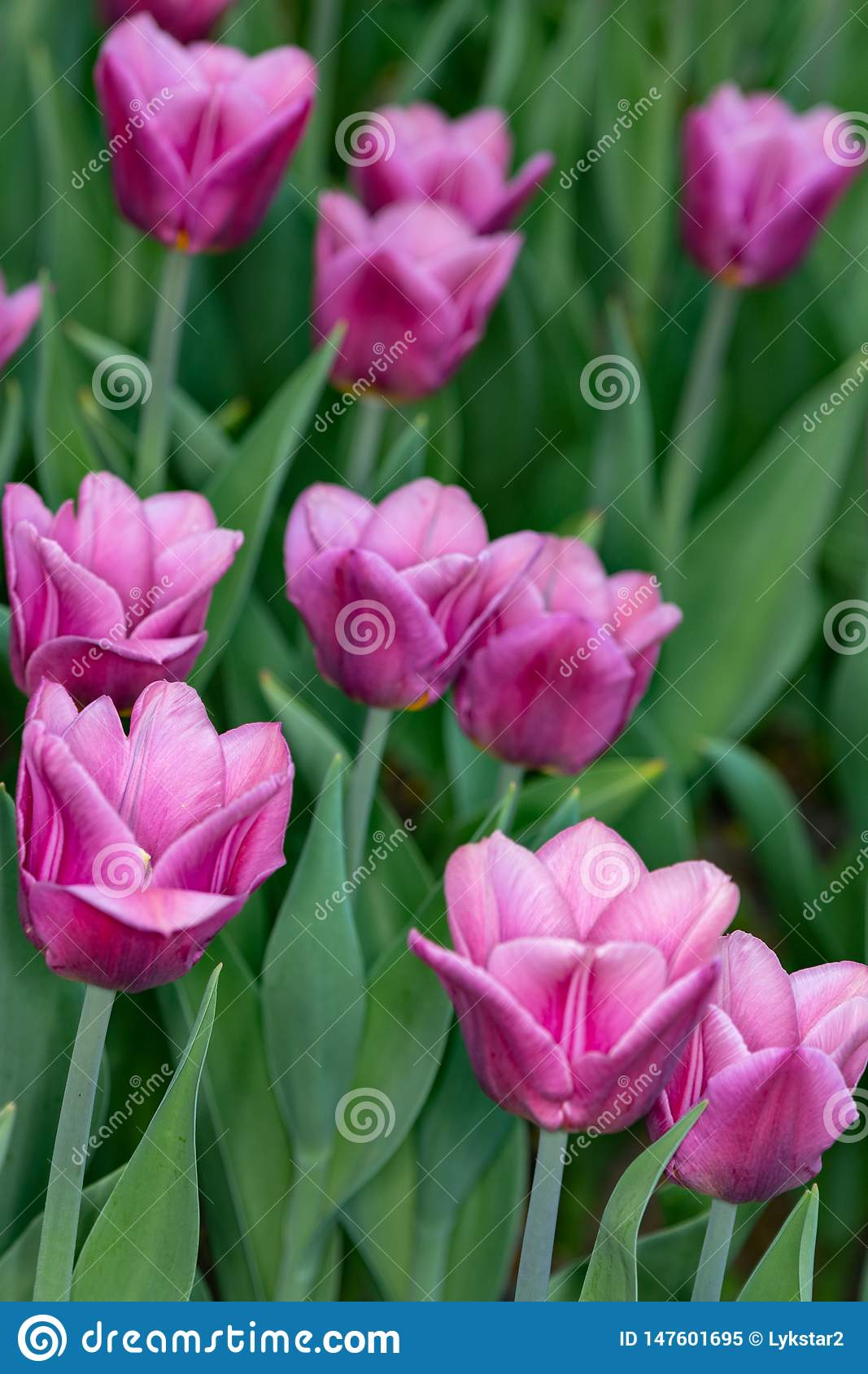 Pink tulips. Spring pink tulips blooming with green stalk in a garden field out of focus background. Concept image for seasons