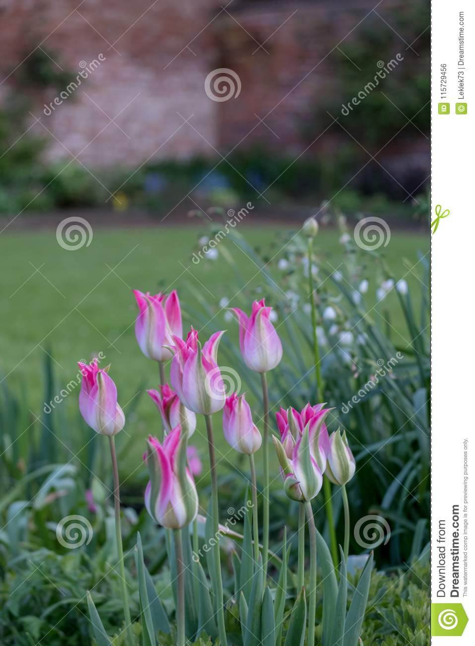 Pink Tulips And A Variety Of Spring Flowers In Eastcote House