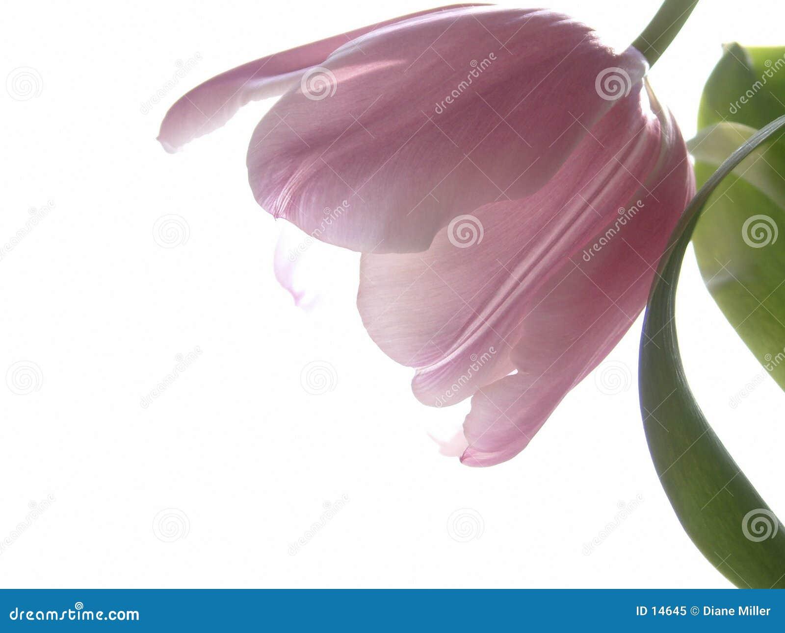 Pink tulpan