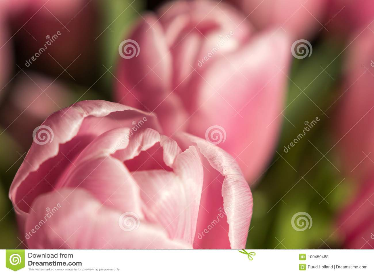 Tulips from holland valentine tulips stock photo image of pink valentine tulips form holland pink colorful layout or springtime greeting card for mothers day birthday m4hsunfo