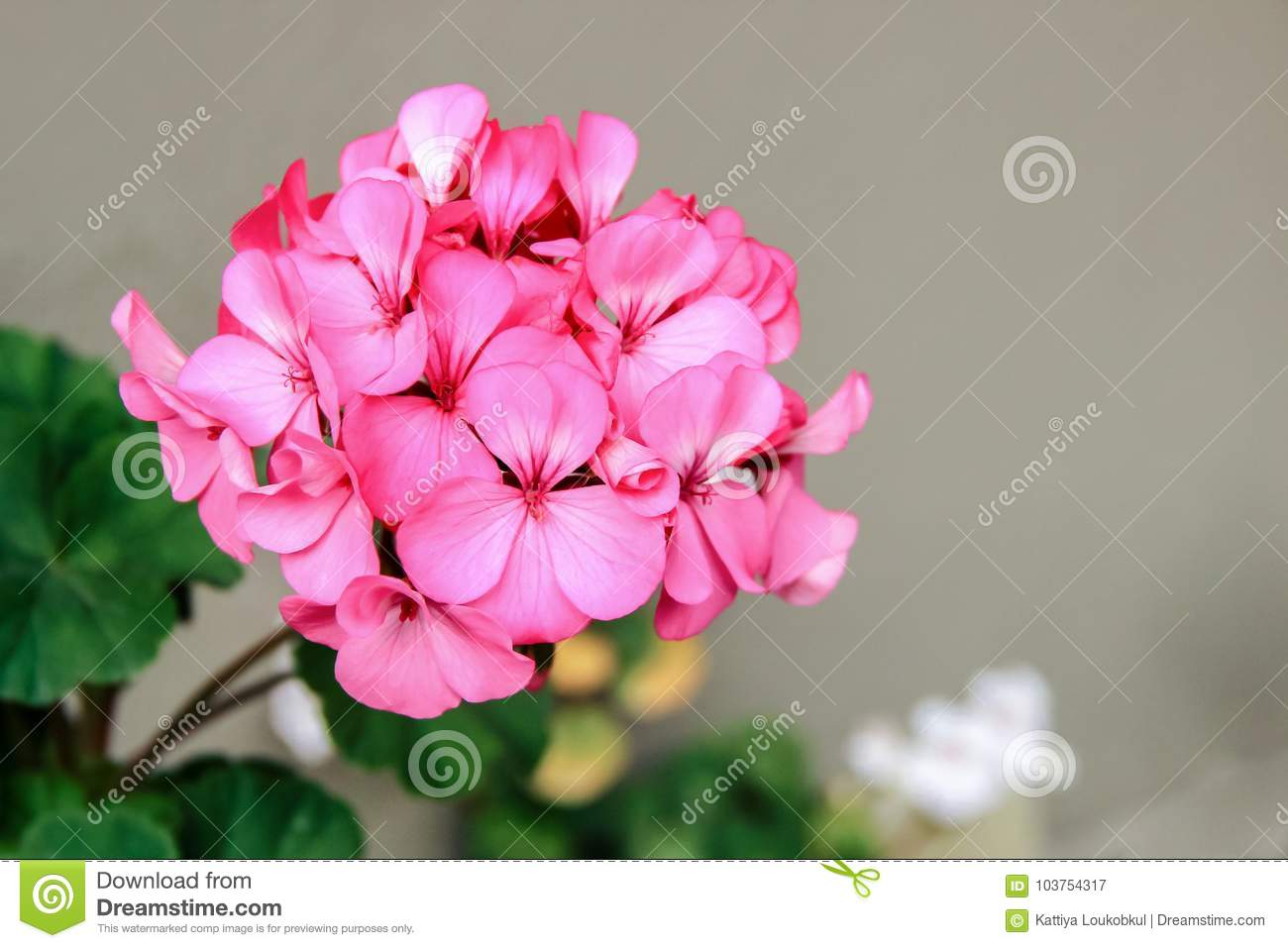 pink vinca flowers stock image image of park blossom 103754317