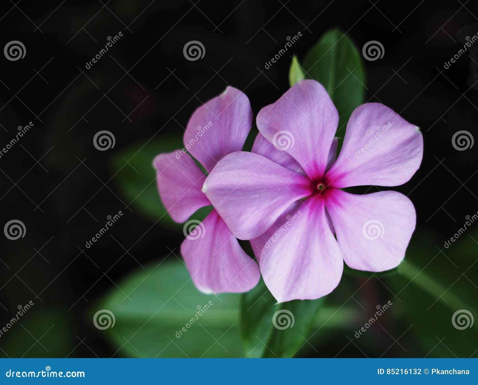 Pink vinca flowers madagascar periwinkle stock photo image of herb download pink vinca flowers madagascar periwinkle stock photo image of herb garden 85216132 mightylinksfo