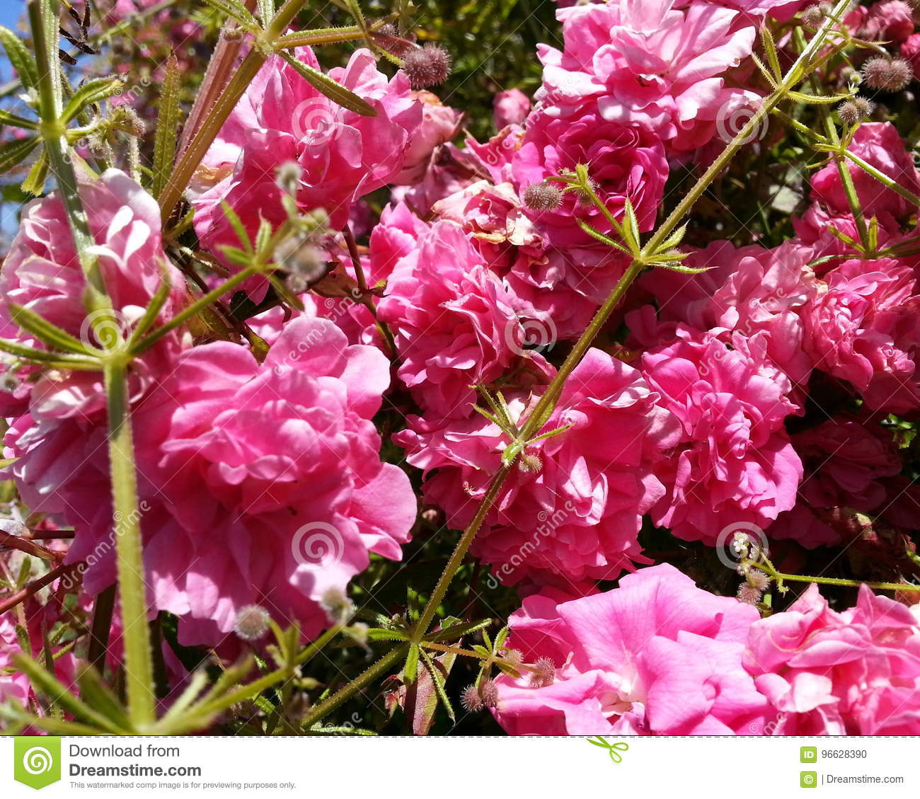 Pink Vine Flowers Stock Photo Image Of Petals Floral 96628390