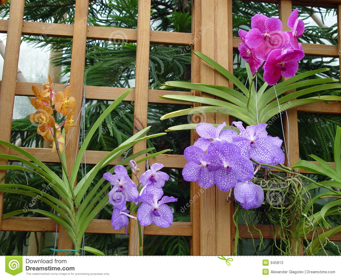 Pink, violet and yellow Orchids