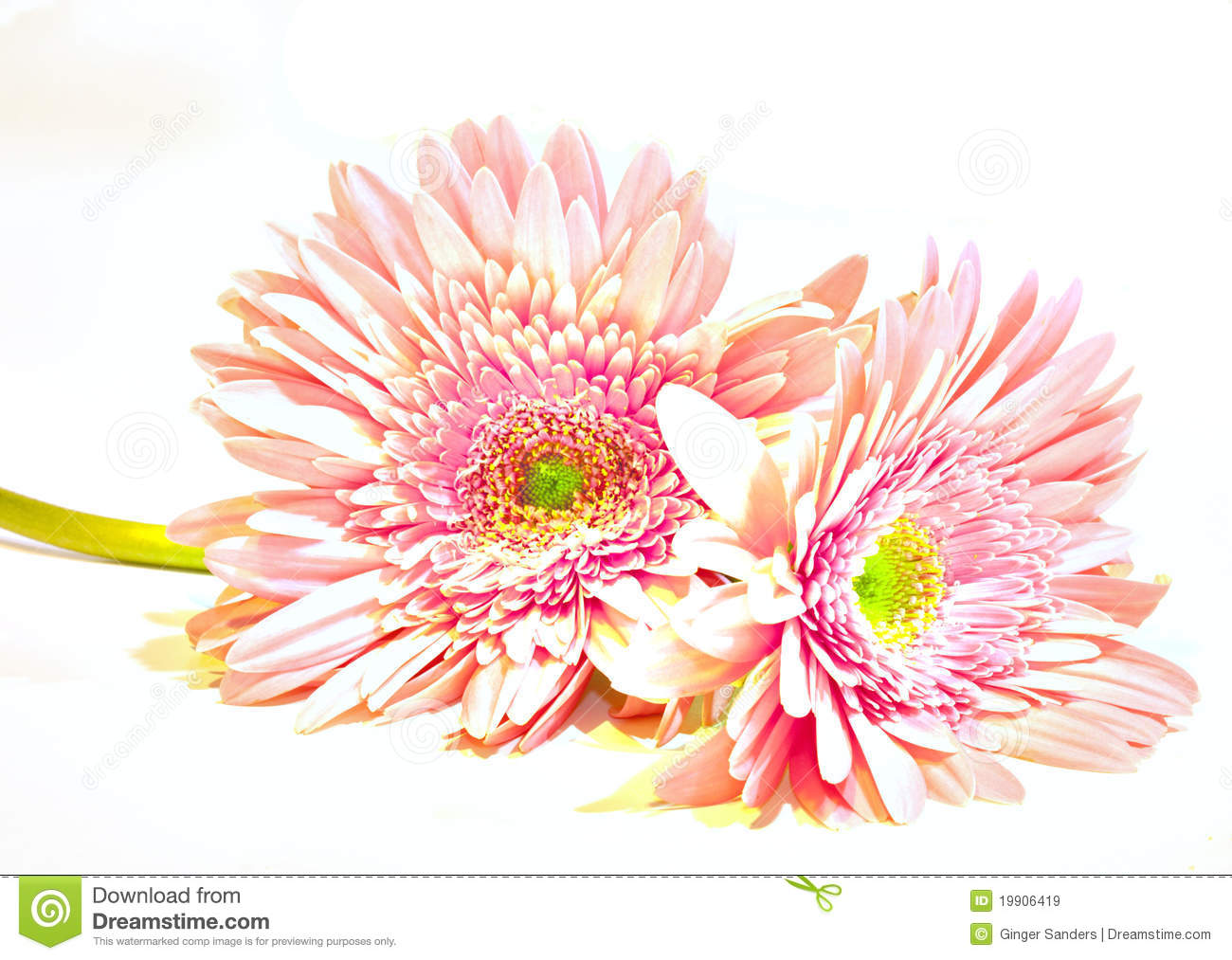 Pink Washed Gerber Daisies